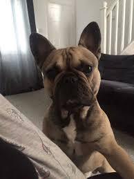 Image result for bulldog nodding head video