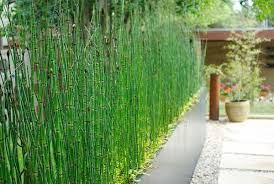 Best Screening Plants Horsetail Grass Ornamental Grasses Patio Privacy Ideas Architectural Plants Modern Front Yard Natural Privacy Fences