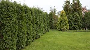How To Plant An Arborvitae At Menards