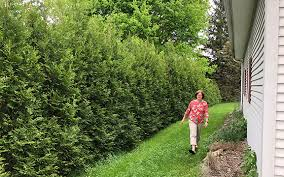 The Plant Hunter Full Speed A Hedge With American Pillar