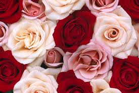 16 best free rose wallpapers