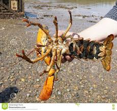 Pregnant Lobster stock photo. Image of ...