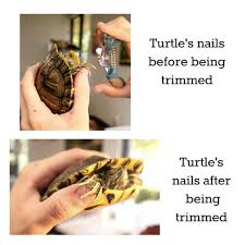 how to trim your tortoise s beak and nails
