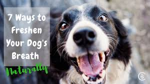 freshen your dog s breath naturally