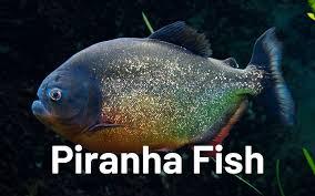 48+ Piranha Aquarium Fish Images