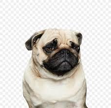 pug pembroke welsh corgi puppy desktop