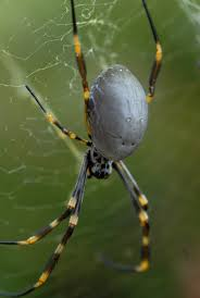 golden orb weaving spiders the