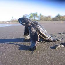 Putting Fins Together For Community Based Conservation Of Leatherback Turtles By Daniel Karp Student Conservation Corner Medium