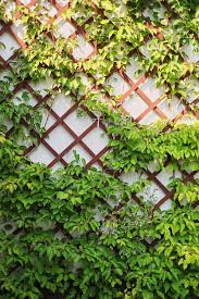Ivy Is Best Plant For Cooling Buildings Reducing Humidity