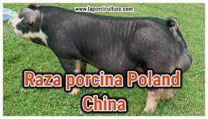 ▷Raza de cerdo Poland china 【Informacion Actualizada】✓