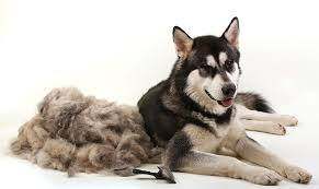 do dogs have hair or fur and how can i