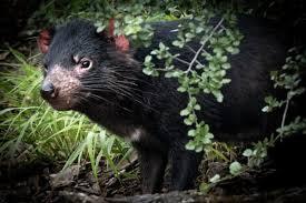 Sai che animale è il diavolo della Tasmania recentemente reintrodotto in  natura dopo 3000 anni? - Proiezioni di Borsa