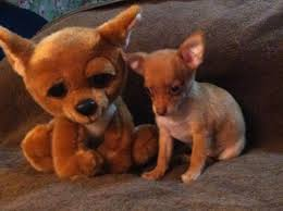 tiny toy teacup chihuahua brothers