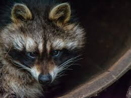 Wildlife Removal, Animal Trapping   Middleton, Nampa, McCall ...