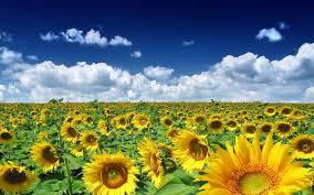 sunflower desktop background wallpaper