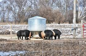 Pigs At Feeders Stock Photo Download Image Now Istock