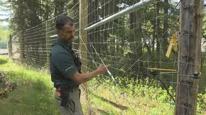 New Banff Fence Will Zap Bears Who Try To Climb It To Eat Roadside Dandelions Cbc News