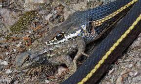 Reptiles Pinnacles National Park U S National Park Service