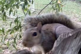 Squirrel Gets Trapped In A Fence By Its Testicles 9gag