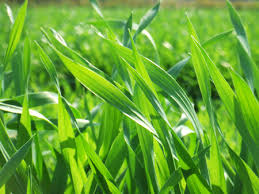 大麦若葉の効果効能ってどうなの?【青汁LAB】