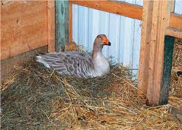 Living With The Modern Goose Quarto Knows Blog