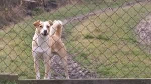 Yellow White Dog Barks Wire Fence Stock Video C Avramesku 179940060