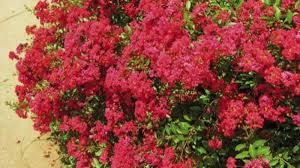 Series of crape myrtles can razzle dazzle any garden   Home & Garden    tulsaworld.com