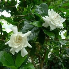 gardenia miami supreme ver