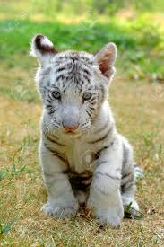 baby white tiger in chiang mai night