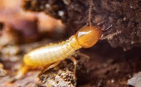 View Termite Service  PNG