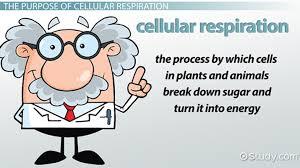 purpose of cellular respiration