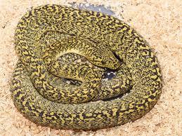 arboreal monsters carpet python morphs