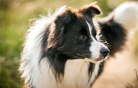 crazy about collies country life