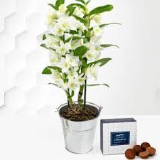 dendrobium orchids orchid plants