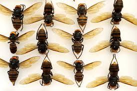 Murder Hornets' Both a Lethal Threat ...