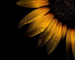 water dew on sunflower hd wallpaper