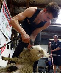Rapid rate secures shearing world record | Stuff.co.nz