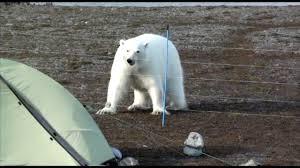 Safer In Polar Bear Areas Youtube