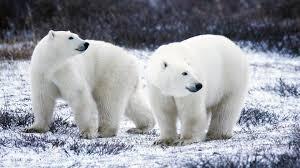 polar bear wallpaper hd wallpapers