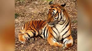 Coronavirus in US: Tiger at NYC's Bronx ...