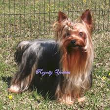 yorkshire terrier or pomeranian puppy