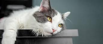 La peritonite infettiva felina - ROYAL CANIN® - Royal Canin