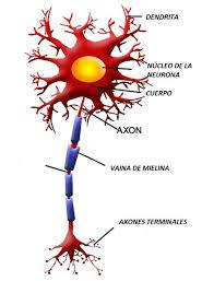 Mielina: funciones, formación, estructura - Lifeder