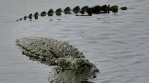 Video Alligator Climbs Fence In Jacksonville News Break