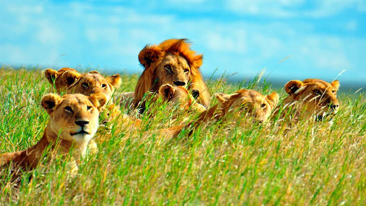 """Resultado de imagem para leão na selva"""""""