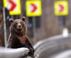 Cea mai frumoasă fotografie cu un urs care a pozat unui fotoreporter în România