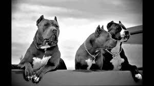 pitbull wallpapers top free pitbull