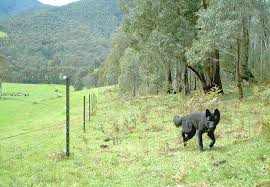 Electric Fencing Underutilised In Wild Dog Fight Industry Leaders Beef Central