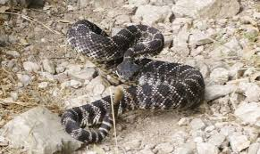 What To Do When A Snake Bites You On A Remote Trail Extramilest