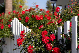 Easy Care Roses This Old House